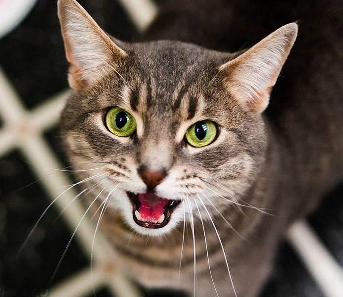 Орущий кот: особенности поведения или признак болезни?