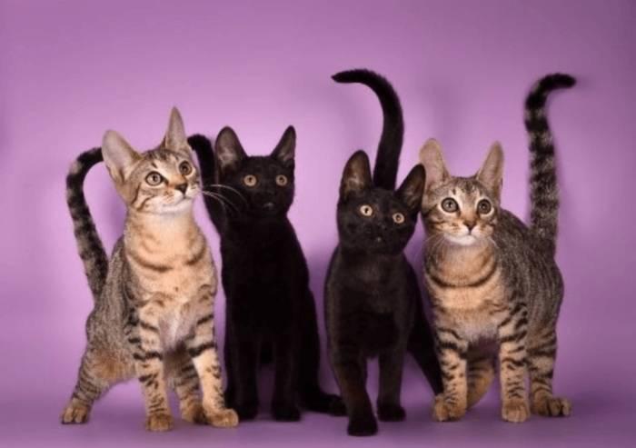Серенгети – кошка с самыми длинными лапами