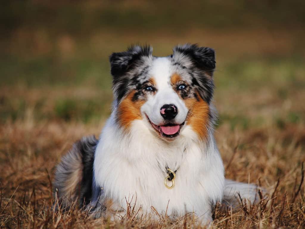 Австралийская овчарка (аусси): фото, характер, описание породы, окрасы, щенки