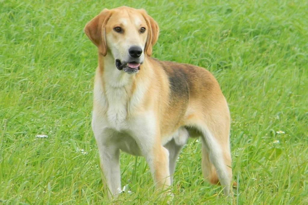 Русская гончая: описание породы собак с фото и виде