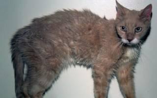 Гипертиреоз у кошек - симптомы, лечение, причины и диагностика в клинике зоостатус