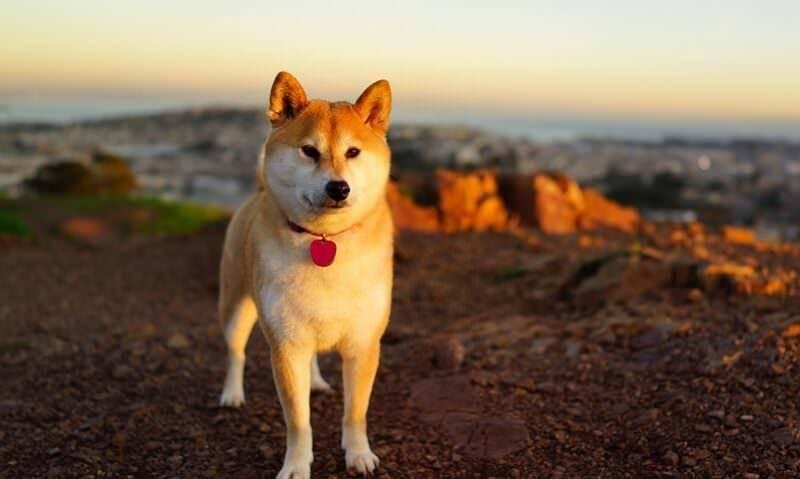 Японские породы собак - фото, названия и описание
