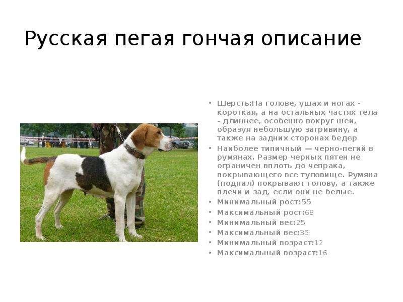 Русская пегая гончая (англо-русская гончая)