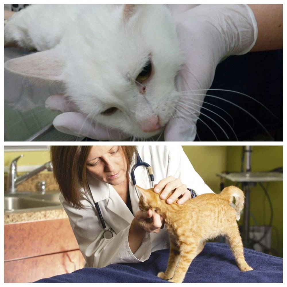 Что делать если у кошки началась эпилепсия? эпилепсия у кошек: симптомы и лечение может ли кошка умереть от эпилепсии - новая медицина