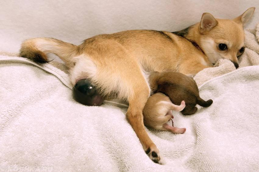 Беременность сибирский хаски и подготовка к родам