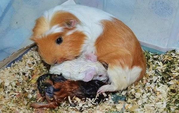 Морские свинки скинни: сколько живут, как ухаживать и чем кормить в домашних условиях