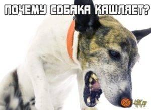 Что делать, если собака кашляет как будто подавилась   кашель