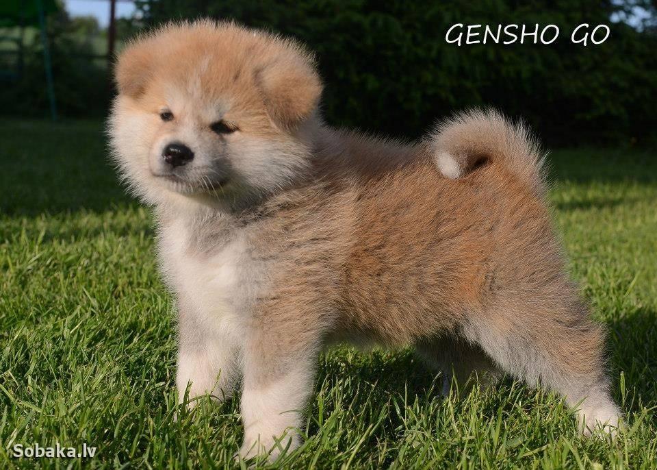 Описание щенков акита-ину по месяцам. основы кормления и воспитания, цены на собак