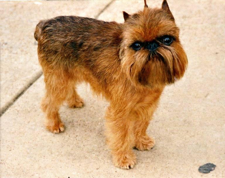 Брюссельский гриффон: фото собаки, все о породе