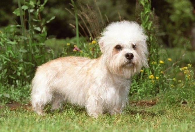 Денди-динмонт-терьер: фото, цена, собаки, щенка, отличия