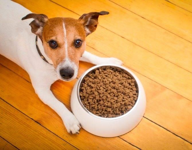 Как и чем кормить щенка джек рассела: меню по возрастам