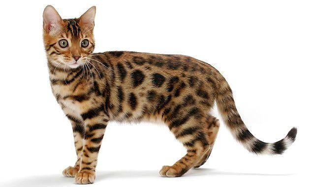 Домашняя бенгальская кошка: характер и стандарт породы