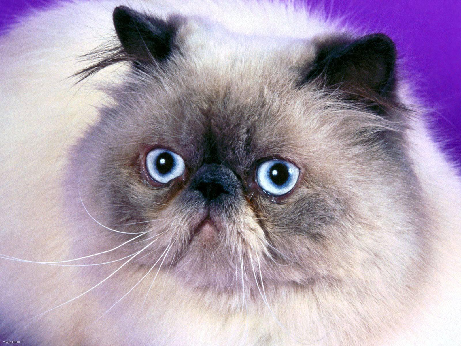 Гималайская кошка: описание породы колор-пойнт