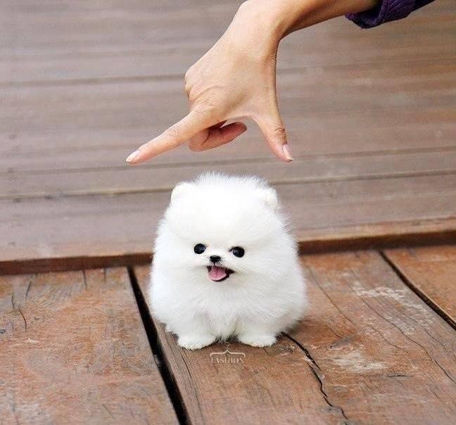 23 породы маленьких гладкошерстных собак