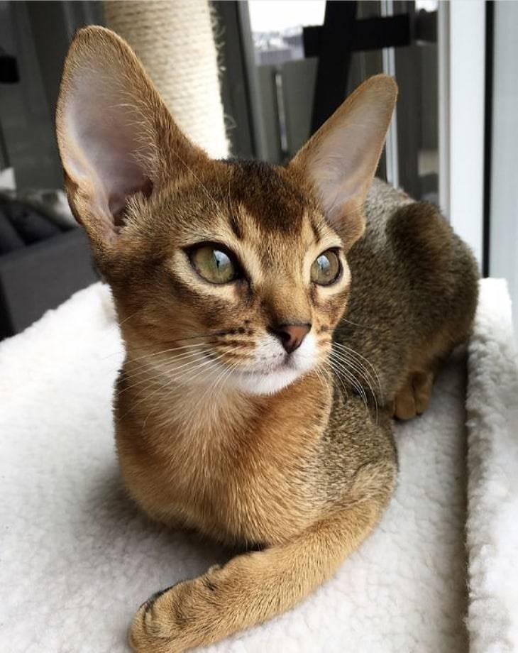 Самые умные породы кошек: топ 10 пород с фотографиями и названиями