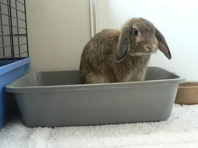 Как приучить кролика к лотку: способы