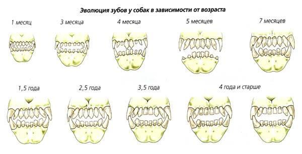 Простой способ узнать возраст щенка или взрослой собаки по зубам   ваши питомцы   яндекс дзен