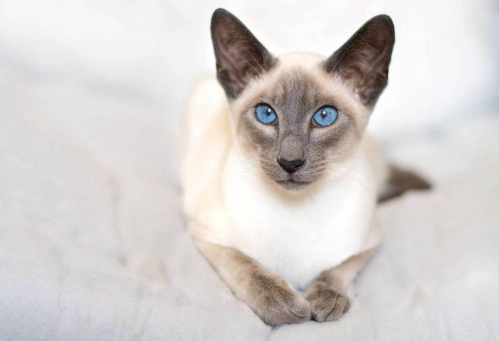 Сиамская кошка: описание породы, характер, отзывы и фото