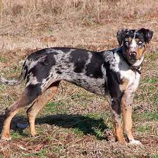 Леопардовая собака катахулы - вики