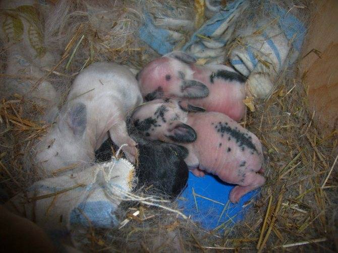 Уход за крольчатами после отсаживания от крольчихи