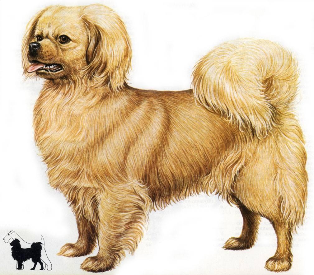 Характеристика собак породы тибетский спаниель с отзывами и фото