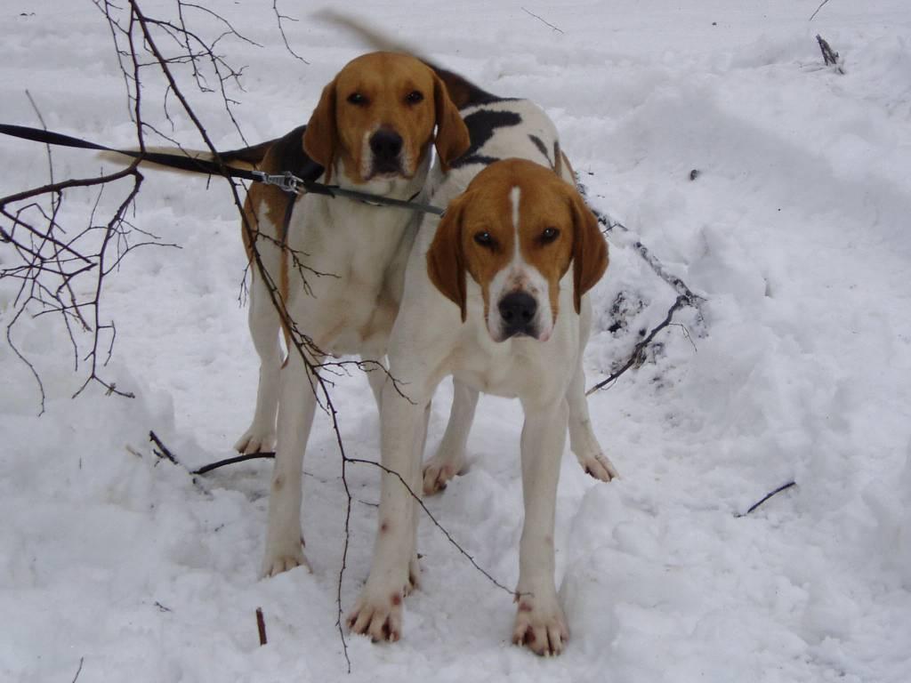Всё про породу собак русская гончая. характер, уход и питание гончей кормление щенка породы русская гончая - новая медицина