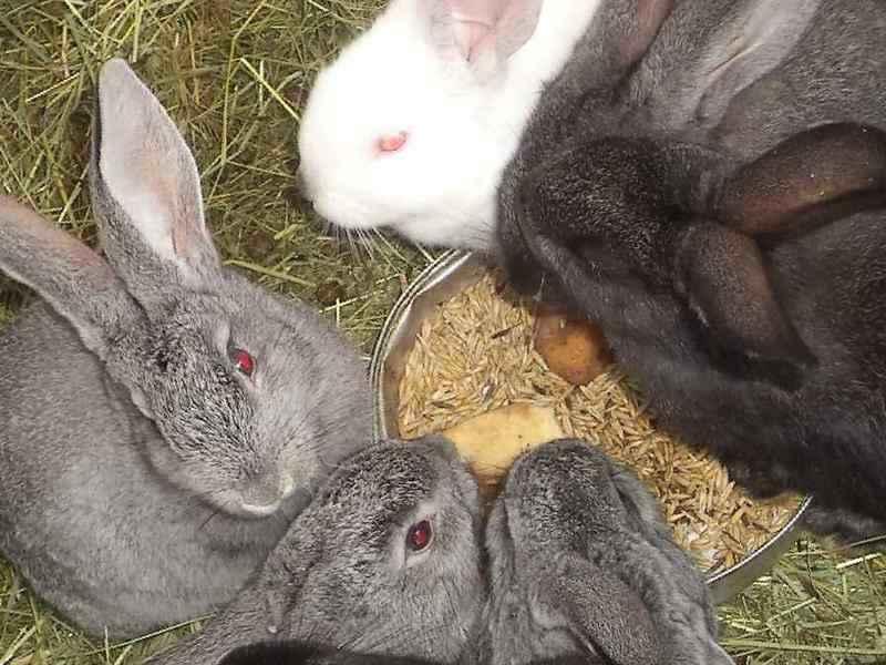 Роды крольчихи: признаки приближения и особенности окрола
