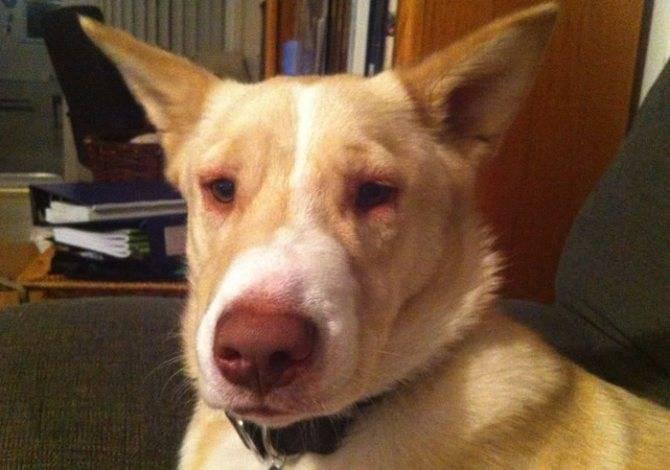 Из-за чего у собаки может распухнуть щека?