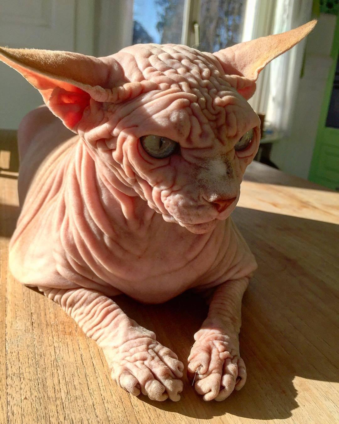 Самый уродливый кот в мире – кошка страшная