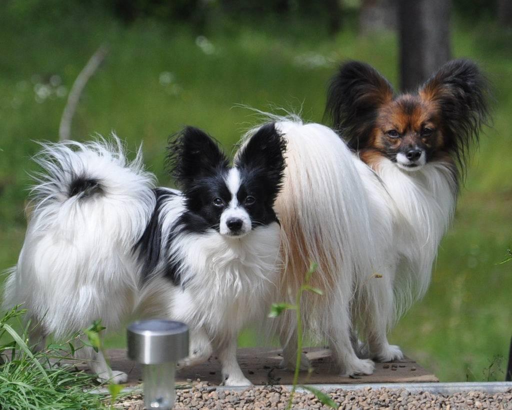 Порода собак папийон (папильон): описание, характер, фото