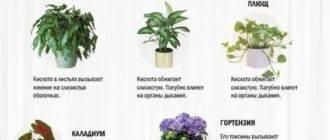 Ядовитые комнатные растения: фото и названи