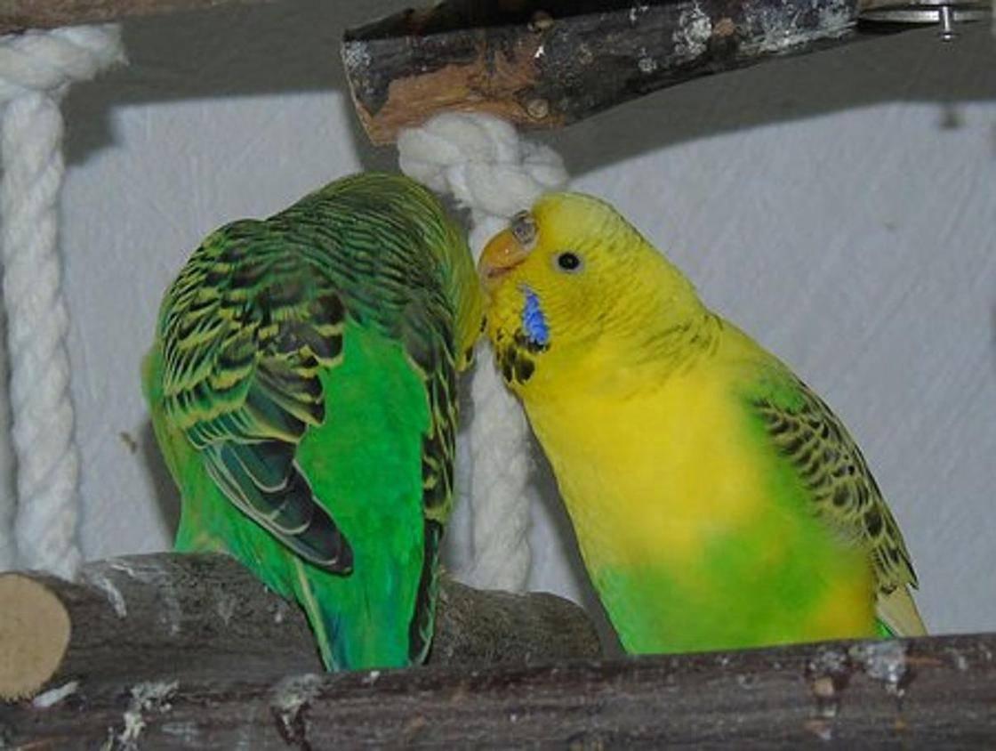 Как научить попугая говорить за 1 день – лучшие техники и методики
