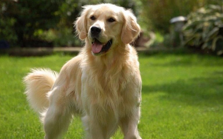 Ховаварт — порода собак