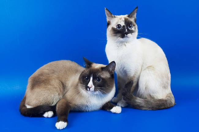 Сноу-шу кошка. описание, особенности, уход и цена породы сноу-шу | животный мир