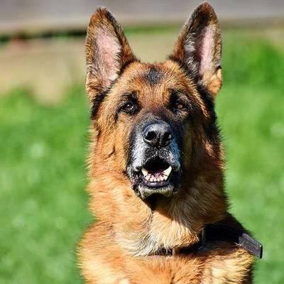 Характеристика породы немецкая овчарка: как содержать умнейшую собаку с «экстремальной сообразительностью»