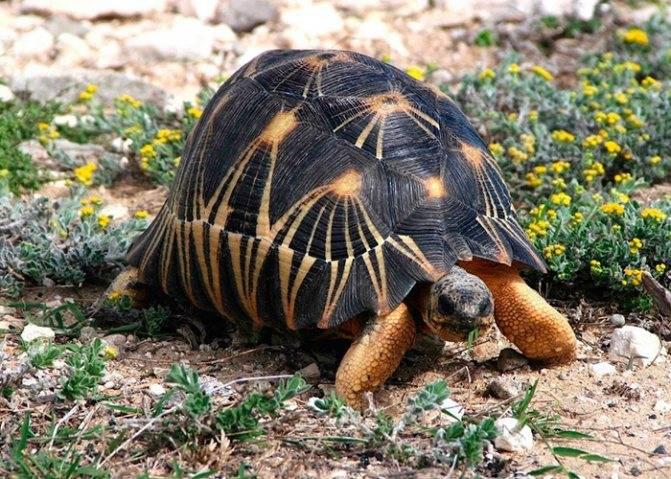 Продолжительность жизни красноухой черепахи в аквариуме: как определить возраст
