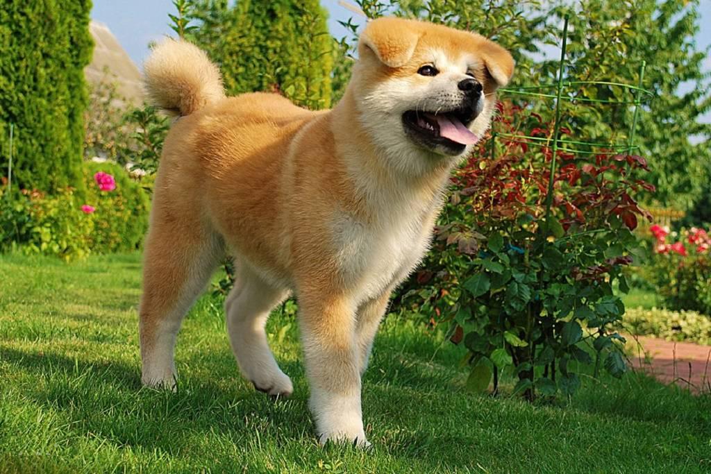 Американская акита: характеристика породы, описание ифото большой японской собаки, цена щенка + отзывы владельцев