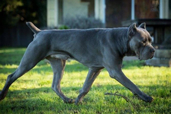 Кане корсо: описание, фото, характер, уход, дрессировка собаки