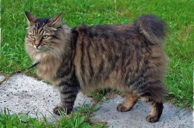 Кошки » породы » американский бобтейл