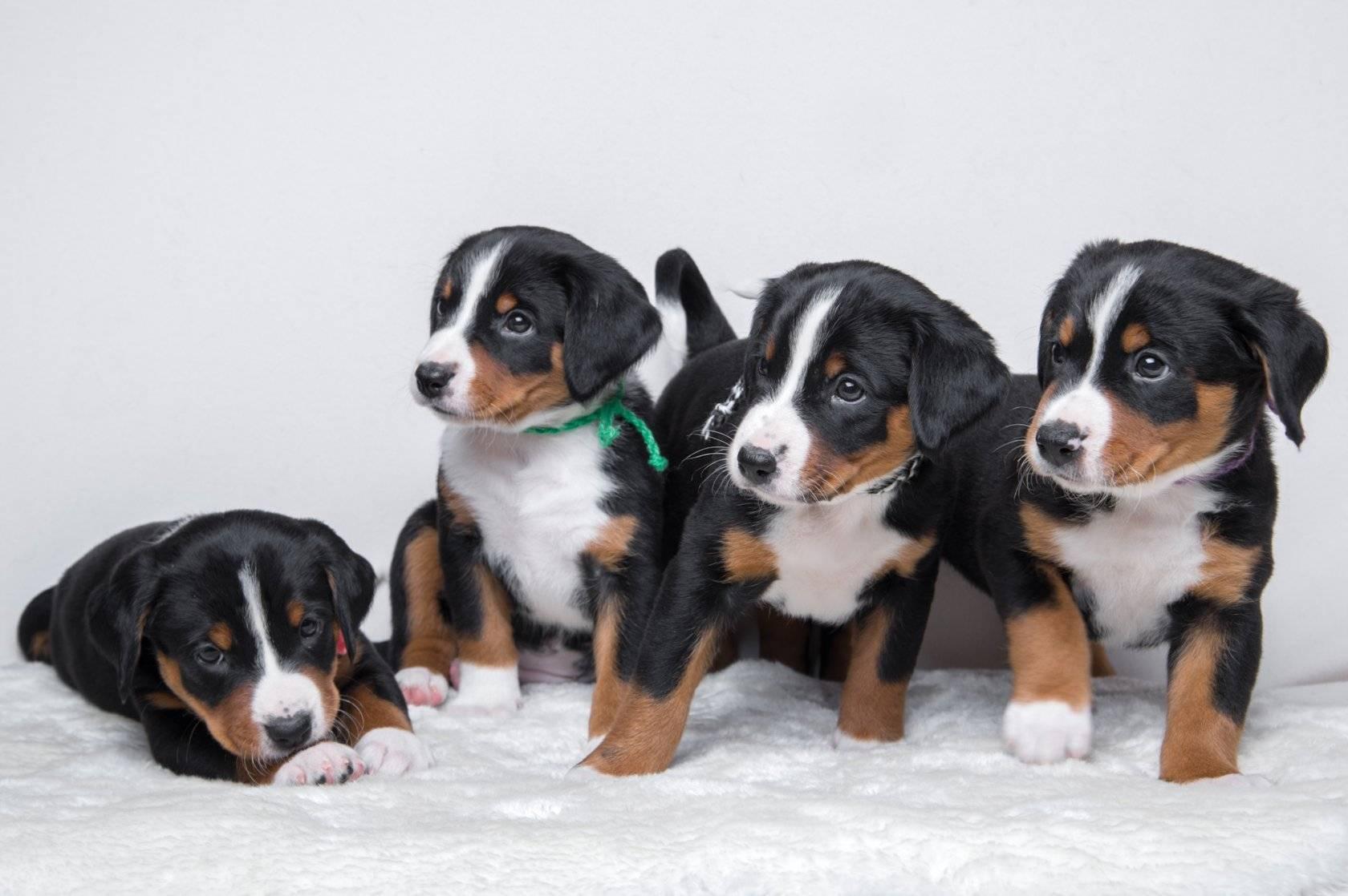 Аппенцеллер зенненхунд: фото собаки и ее метисов, описание швейцарской породы (рост, вес по месяцам, характер), отзывы владельцев, цена щенков и известные питомники
