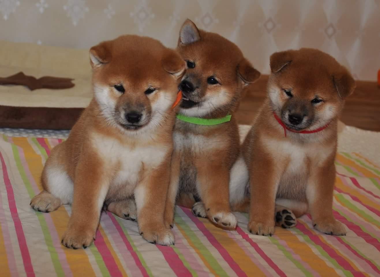 Топ 25 самые лучшие породы собак (рейтинг 2020)