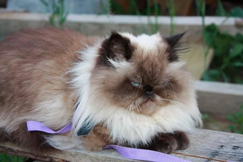 Кошка гималайской породы: описание, характер, советы по содержанию и уходу, фото