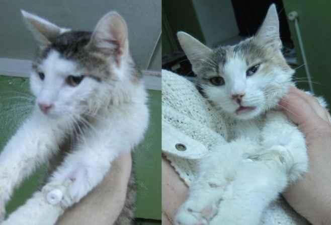 Гемобартонеллез у кошек.