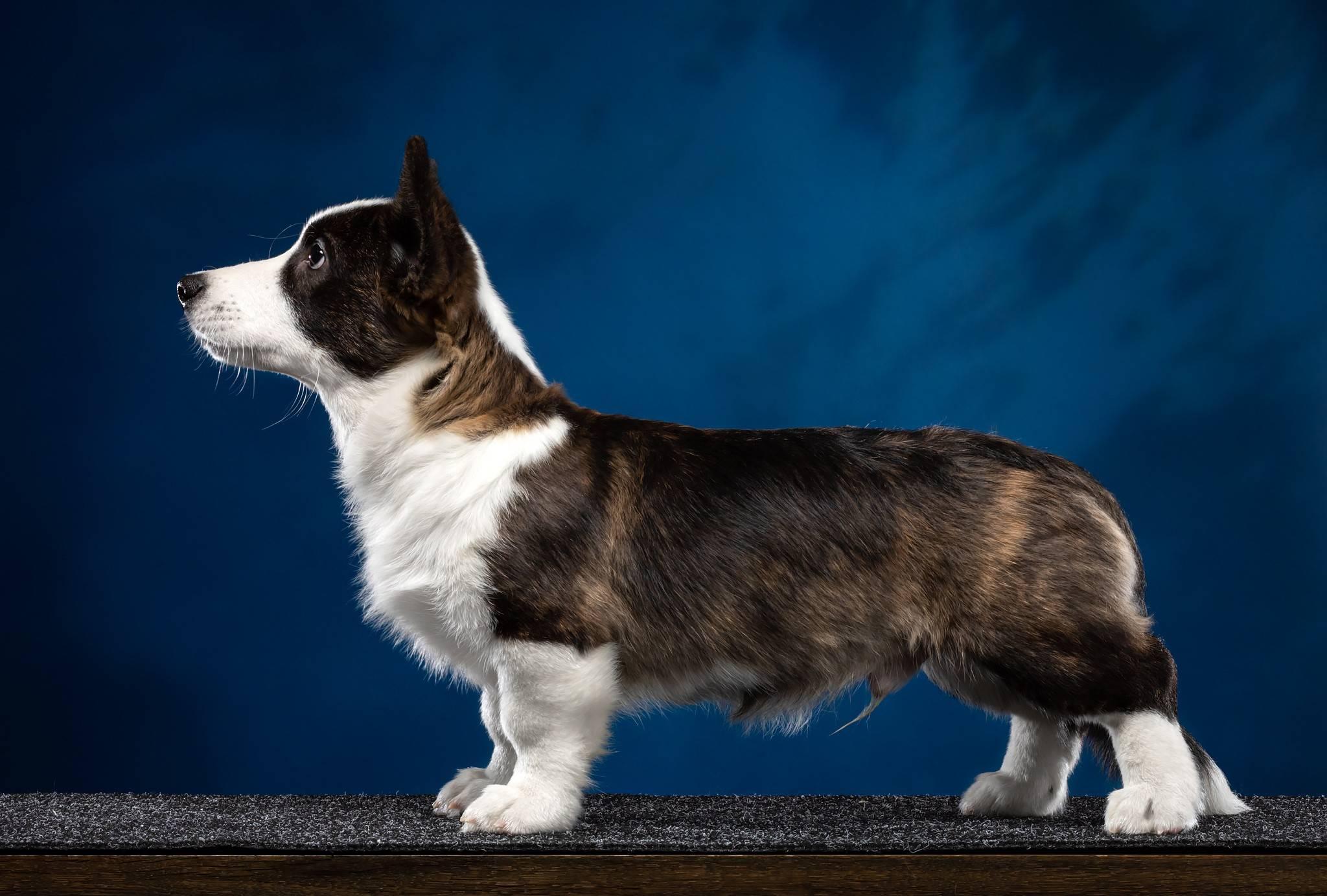 Вельш-корги кардиган – описание и стандарты популярной породы собак