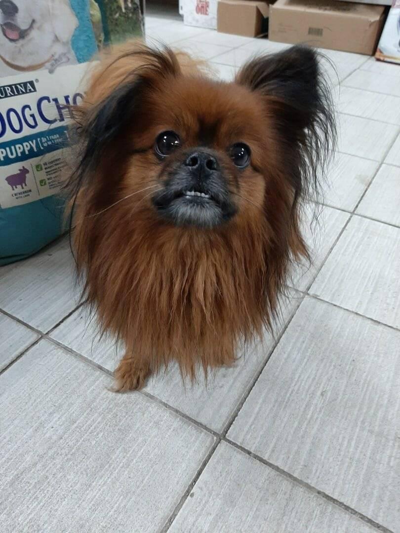 Йоркширский терьер мини: как выглядит карликовый щенок на фото, а также уход, содержание и кормление взрослой собаки