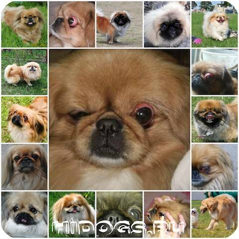 Выпадение глаз у собак: прогноз и лечение, у каких пород вываливаются глазные яблока, причины, реабилитация, фото
