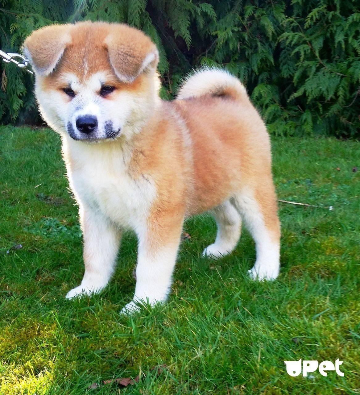 Белая акита-ину (26 фото): особенности окраса щенков японской породы, характер собак белого цвета. условия для их содержания