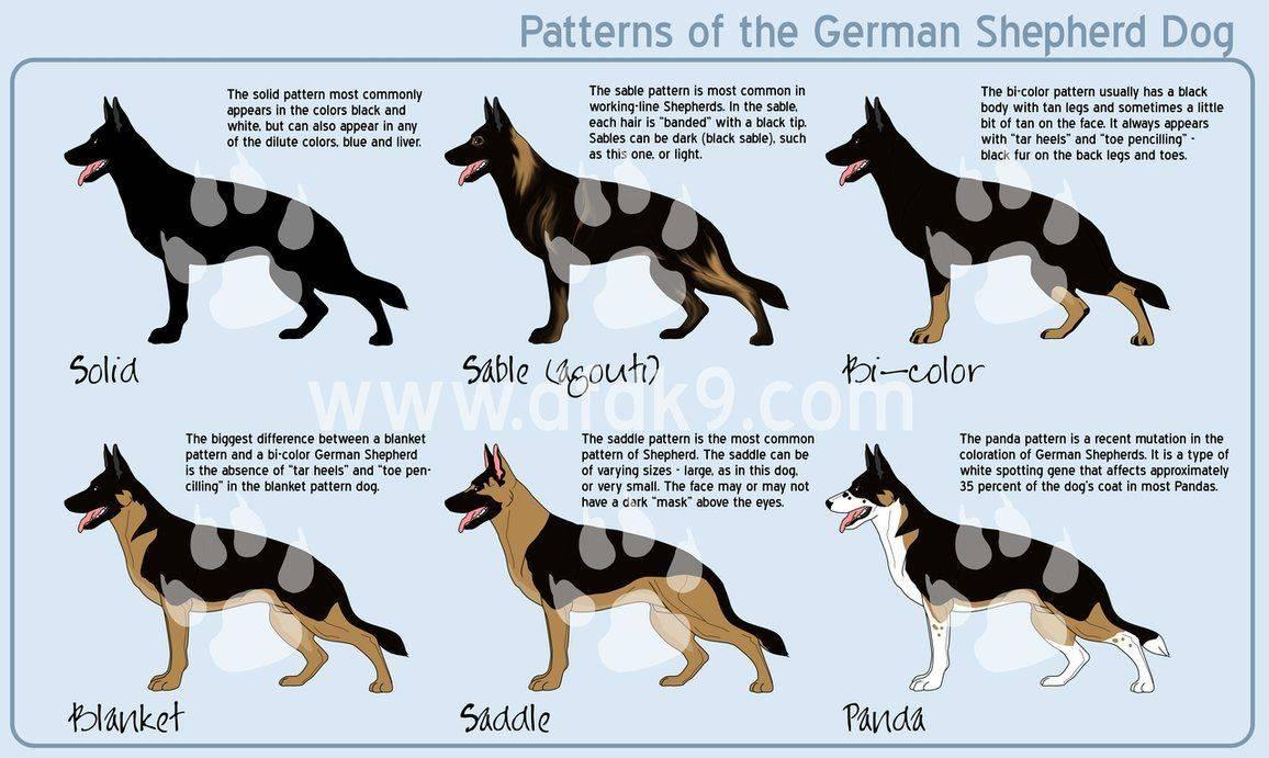 Все возможные окрасы немецкой овчарки с описанием и фото