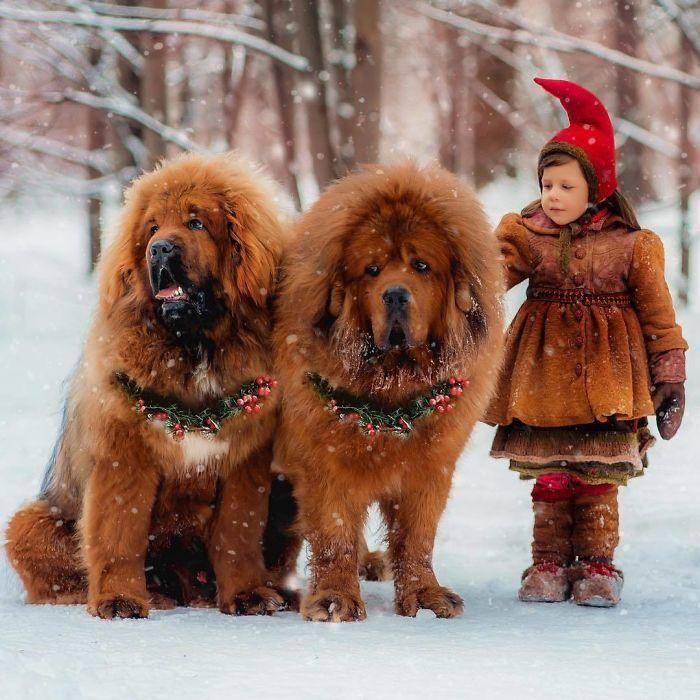 Тибетский мастиф: описание породы с фото, характеристика собаки, уход