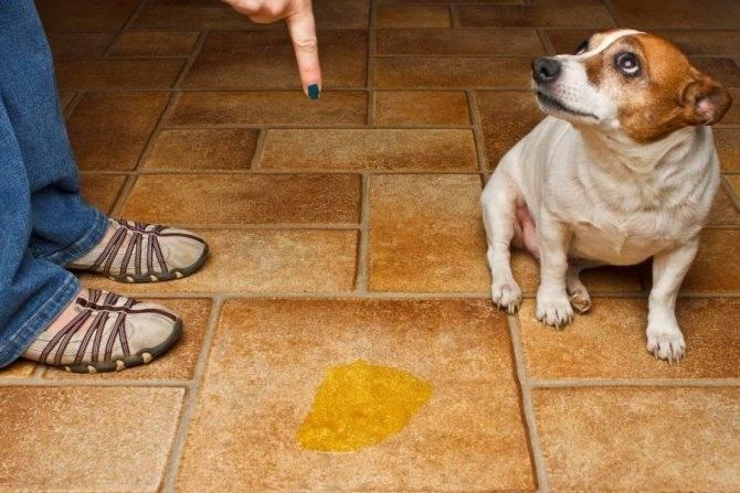 Отучаем собаку писать дома в неположенном месте: мнение специалистов против народных средств